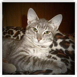 Domestic Shorthair Kitten for adoption in Medford, Wisconsin - IVAN