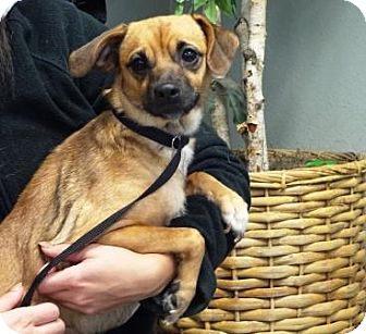 Terrier (Unknown Type, Small) Mix Dog for adoption in Lathrop, California - Canela