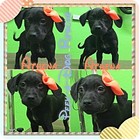 Adopt A Pet :: Athena - South Gate, CA