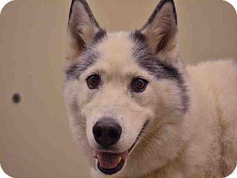 Siberian Husky Mix Dog for adoption in Overland Park, Kansas - A077846 Cheyenne