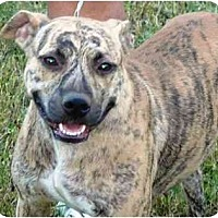 American Staffordshire Terrier/Akita Mix Dog for adoption in Slidell, Louisiana - Zena