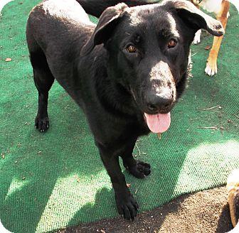 German Shepherd Dog Mix Dog for adoption in Evergreen Park, Illinois - Tank
