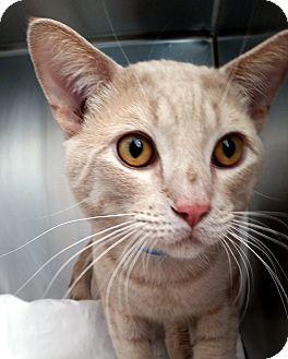 Domestic Shorthair Cat for adoption in Las Vegas, Nevada - Magnus