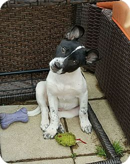 Border Collie Mix Puppy for adoption in New Oxford, Pennsylvania - Ivory