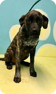 Mastiff/Cane Corso Mix Puppy for adoption in Grenada, Mississippi - Pebbles
