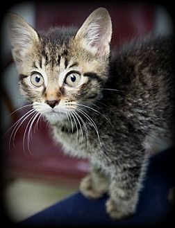 Domestic Shorthair Kitten for adoption in Montclair, New Jersey - Hazelnut & Amaretto
