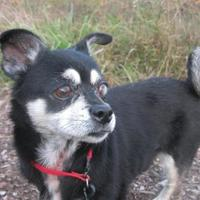 Chihuahua/Pekingese Mix Dog for adoption in Salem, Ohio - Pookie