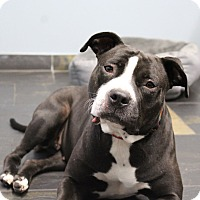 Adopt A Pet :: Stacy - Adoption Pending! - Chicago, IL