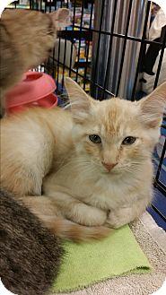 Domestic Shorthair Kitten for adoption in Marietta, Georgia - Carter