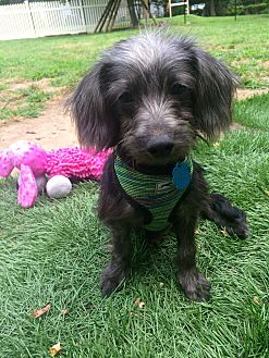 Poodle (Toy or Tea Cup)/Yorkie, Yorkshire Terrier Mix Puppy for adoption in East Hartford, Connecticut - Billy