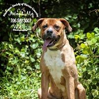 Adopt A Pet :: Atticus - Hamilton, GA
