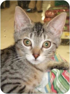 Domestic Shorthair Kitten for adoption in Fort Lauderdale, Florida - Ms. Snickey