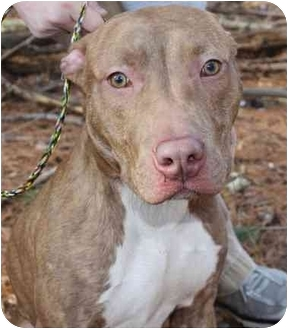 American Pit Bull Terrier Mix Dog for adoption in Reisterstown, Maryland - Handsome Dan