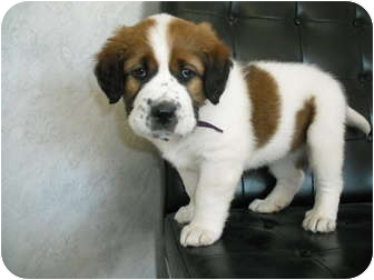 St. Bernard/Labrador Retriever Mix Puppy for adoption in Rock Springs, Wyoming - Tinker
