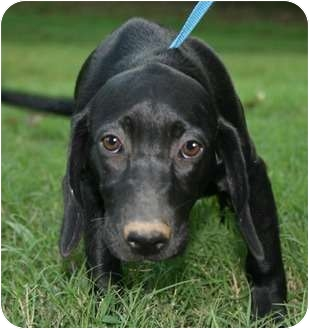 Labrador Retriever/Hound (Unknown Type) Mix Puppy for adoption in Plainfield, Connecticut - Daisy