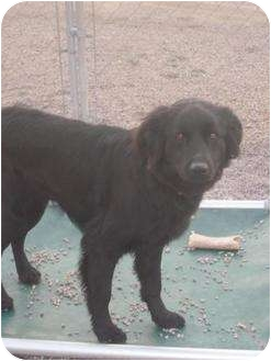 Labrador Retriever/Border Collie Mix Dog for adoption in Marion, Wisconsin - Millie