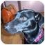 Photo 2 - Labrador Retriever/Terrier (Unknown Type, Small) Mix Dog for adoption in Naugatuck, Connecticut - Dutchess