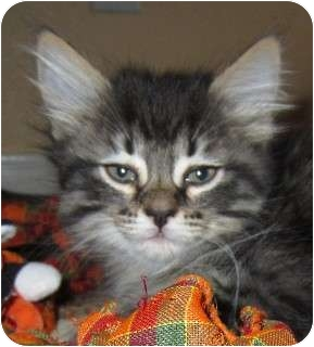 Domestic Longhair Kitten for adoption in Schertz, Texas - Sugar