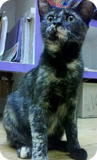 Domestic Shorthair Kitten for adoption in Richboro, Pennsylvania - Sandra Bullock