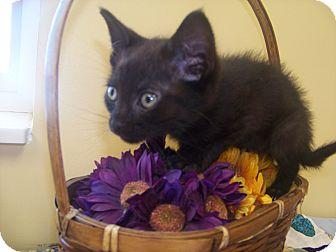 Domestic Shorthair Kitten for adoption in Larned, Kansas - Willie