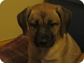 Mastiff Mix Puppy for adoption in Schaumburg, Illinois - Rue