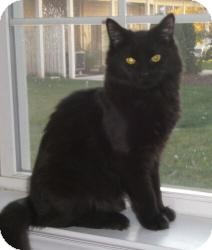 Domestic Mediumhair Cat for adoption in Reston, Virginia - Clancy