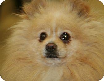 Pomeranian Mix Dog for adoption in Ponderay, Idaho - Cheerio