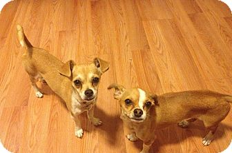 Chihuahua/Terrier (Unknown Type, Small) Mix Dog for adoption in Encino, California - DEVIN and DARLA