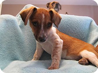 Beagle Mix Puppy for adoption in waterbury, Connecticut - Daisy