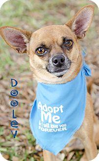 Chihuahua/Miniature Pinscher Mix Dog for adoption in Sarasota, Florida - Dooley
