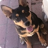 Adopt A Pet :: Allie - Gilbert, AZ