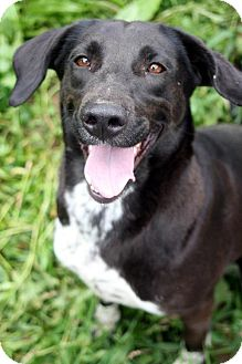 Labrador Retriever/Bluetick Coonhound Mix Dog for adoption in Cool Ridge, West Virginia - Patty