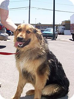 Bernese Mountain Dog/Shepherd (Unknown Type) Mix Dog for adoption in Kirkland, Quebec - Dugall