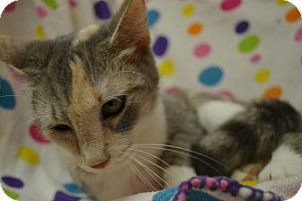 Domestic Shorthair Cat for adoption in East Smithfield, Pennsylvania - Cami