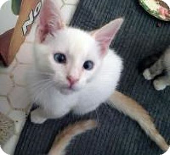 Siamese Kitten for adoption in Mission Viejo, California - Whiskey and Vodka