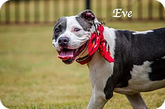 Pit Bull Terrier Mix Puppy for adoption in Lancaster, Texas - Eve