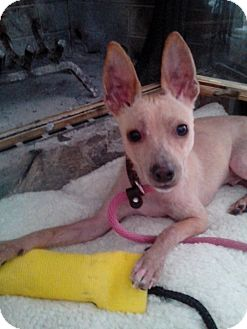 Chihuahua/Rat Terrier Mix Dog for adoption in Lebanon, Connecticut - Fedor