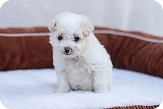 Maltese/Poodle (Miniature) Mix Puppy for adoption in Auburn, California - Mickey Mouse
