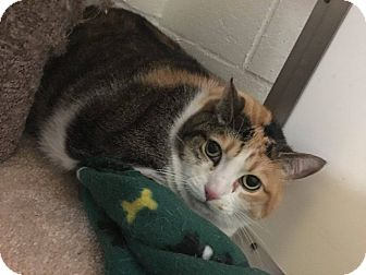 Calico Cat for adoption in North Kingstown, Rhode Island - Calli