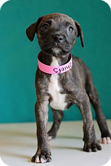 Boxer Mix Puppy for adoption in Waldorf, Maryland - Chiefs