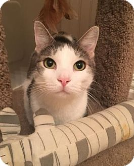 Domestic Shorthair Cat for adoption in Bulverde, Texas - Coffee