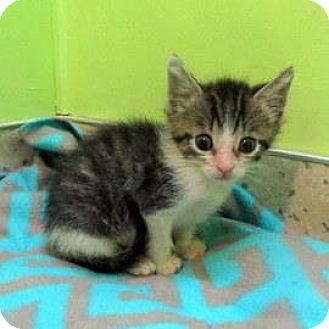 Domestic Shorthair Kitten for adoption in Janesville, Wisconsin - Finn
