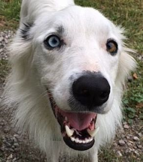 "Border Collie Dog for adoption in Minerva, Ohio - Buddy""i'm ADOPTED"""