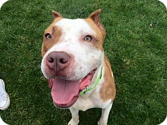Pit Bull Terrier Mix Dog for adoption in Cliffside Park, New Jersey - TEDDY