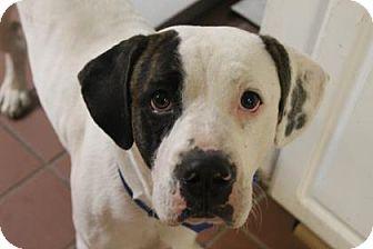 American Bulldog Mix Dog for adoption in Daytona Beach, Florida - Hooper