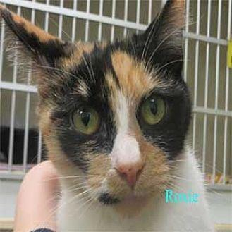 Calico Kitten for adoption in Warren, Pennsylvania - Roxie