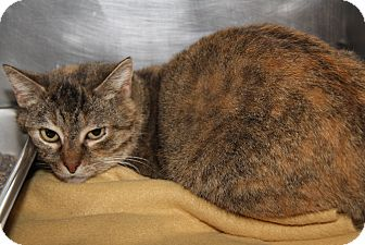 Domestic Shorthair Cat for adoption in Marietta, Ohio - Autumn (Spayed)