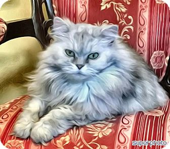 Persian Cat for adoption in INDIANAPOLIS, Indiana - WILLOW