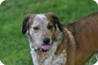 Australian Cattle Dog Mix Dog for adoption in Gallatin, Tennessee - Sara