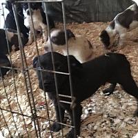 Adopt A Pet :: Sharpei pups - Staunton, VA